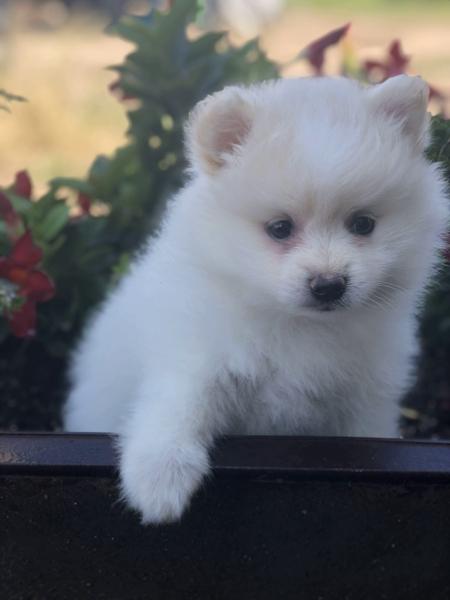 Creek Side Kennel Oberlin, KS kansas white pup